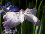 小石川植物園の花菖蒲_13_紅葉の滝