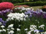 皇居東御苑の花菖蒲その3絵のような姿_1