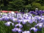皇居東御苑の花菖蒲その3絵のような姿_11