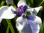 小石川植物園の花菖蒲その2_2_万里の響