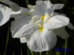 小石川植物園の花菖蒲その2_3_群山の雪