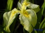 小石川植物園の花菖蒲その2_4_愛知の輝