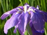 小石川植物園の花菖蒲その2_5_滋賀の浦波