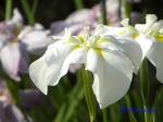 小石川植物園の花菖蒲その2_6_友白髪