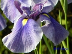 小石川植物園の花菖蒲その2_14_雲竜