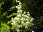 小石川植物園_13_キミガヨラン