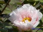 神代植物公園のボタン_08_八重桜
