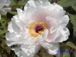 神代植物公園のボタン_09_八重桜