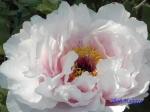 神代植物公園のボタンその2_11_八重桜
