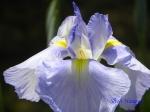 堀切菖蒲園の花菖蒲その5_01_水の光