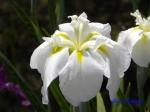 堀切菖蒲園の花菖蒲その5_04_春の雪