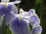 堀切菖蒲園の花菖蒲その5_06_玉津島