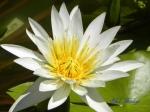 神代植物公園のスイレン_06_ホワイトパール