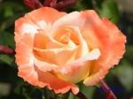 あしかがフラワーパークのバラその2_02_フロージン82