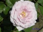 あしかがフラワーパークのバラその2_07_ブルーライト