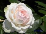 あしかがフラワーパークのバラその2_08_オーナードゥバルサック
