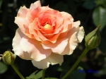 あしかがフラワーパークのバラその2_09_ブラスバンド