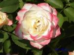 あしかがフラワーパークのバラその2_10_ジュビレデュプリンスドゥモナコ