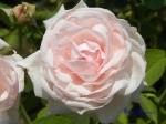 あしかがフラワーパークのバラその2_11_ラフランス