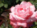 あしかがフラワーパークのバラその2_12_ステファニードゥモナコ