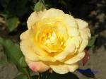 あしかがフラワーパークのバラその2_13_リオサンバ