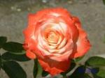 あしかがフラワーパークのバラその2_15_バルデュソワール