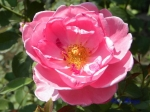あしかがフラワーパークのバラその3_01_ジョンクレアー