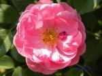 あしかがフラワーパークのバラその3_02_ジョンクレアー