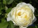 あしかがフラワーパークのバラその3_04_シャルロット