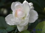 あしかがフラワーパークのバラその3_05_マサコ