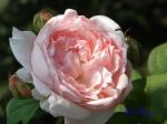 あしかがフラワーパークのバラその3_06_マサコ