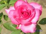 あしかがフラワーパークのバラその3_07_パローレ