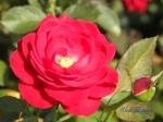 あしかがフラワーパークのバラその3_08_マリアンデール