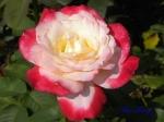 あしかがフラワーパークのバラその3_09_ダブルデライト
