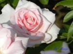 あしかがフラワーパークのバラその3_10_香澄