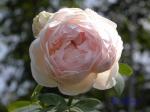 あしかがフラワーパークのバラその3_11_メアリーローズ