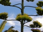 夢の島熱帯植物館_04_アオノリュウゼツラン