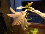 夢の島熱帯植物館_07_タマノカンザシ