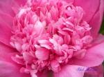 神代植物公園のしゃくやくその3_14_紫雲彩
