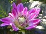 神代植物公園のダリアその6_05_白神の春 Dahlia Shirakami-no-haru