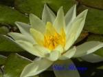 千葉市花の美術館_スイレン_C02_ヘルボラ