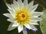 神代植物公園_スイレン_C04_ホワイトパール