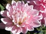 神代植物公園のダリアその9_15_夢山桜