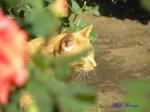 日比谷公園の秋バラを警備するネコさん1