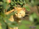 日比谷公園の秋バラを警備するネコさん2