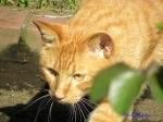 日比谷公園の秋バラを警備するネコさん3