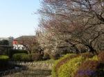 菖蒲田の上に枝を伸ばして咲く梅
