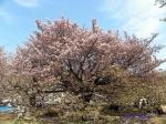 チョウシュウヒザクラ 長州緋桜