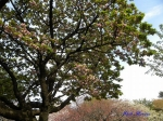 ケンロクエンキクザクラ 兼六園菊桜