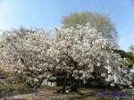 オオシマザクラ 大島桜